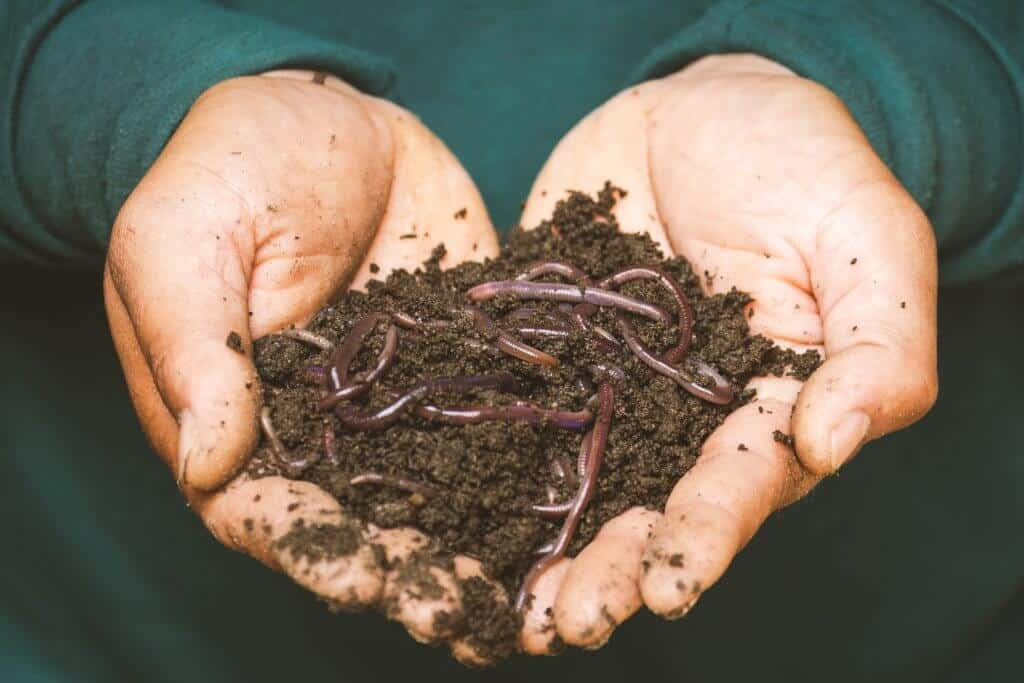 Person holding dirt with lots of fishing worms for composting in his hands