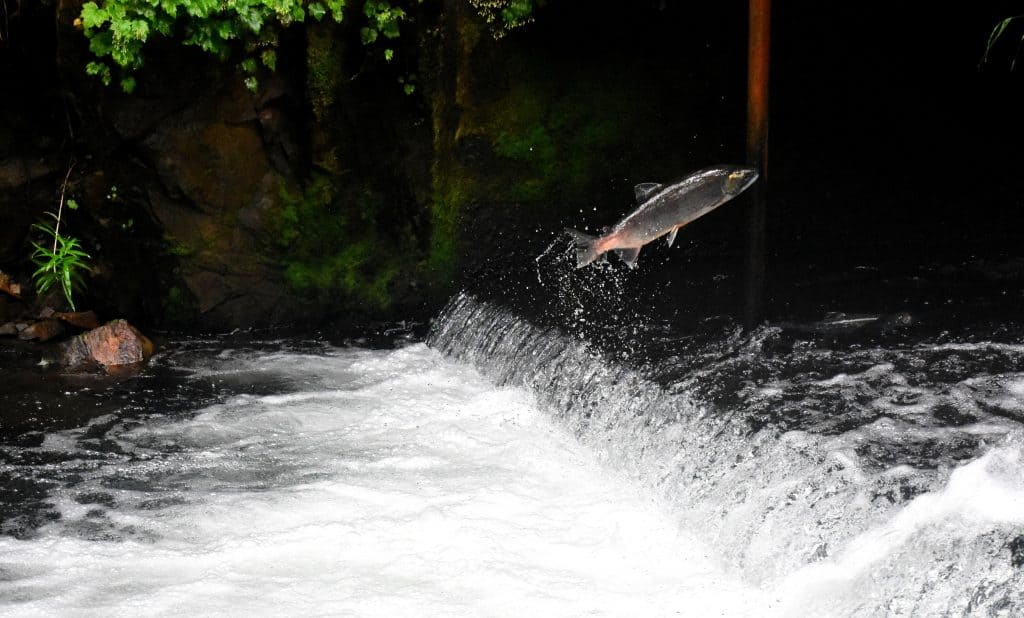 Salmon Fishing Tips & Tricks: A salmon jumping upstream in a river