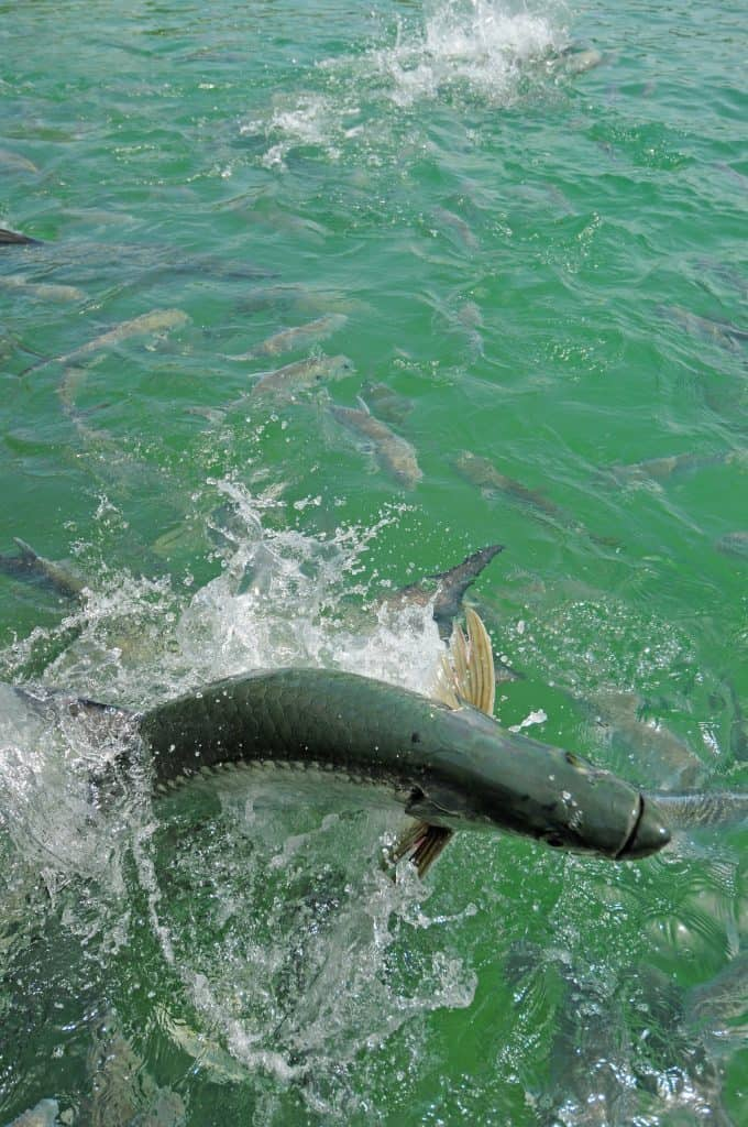 Tarpon fish jumping out of water in the Atlantic Ocean off of the Florida coast