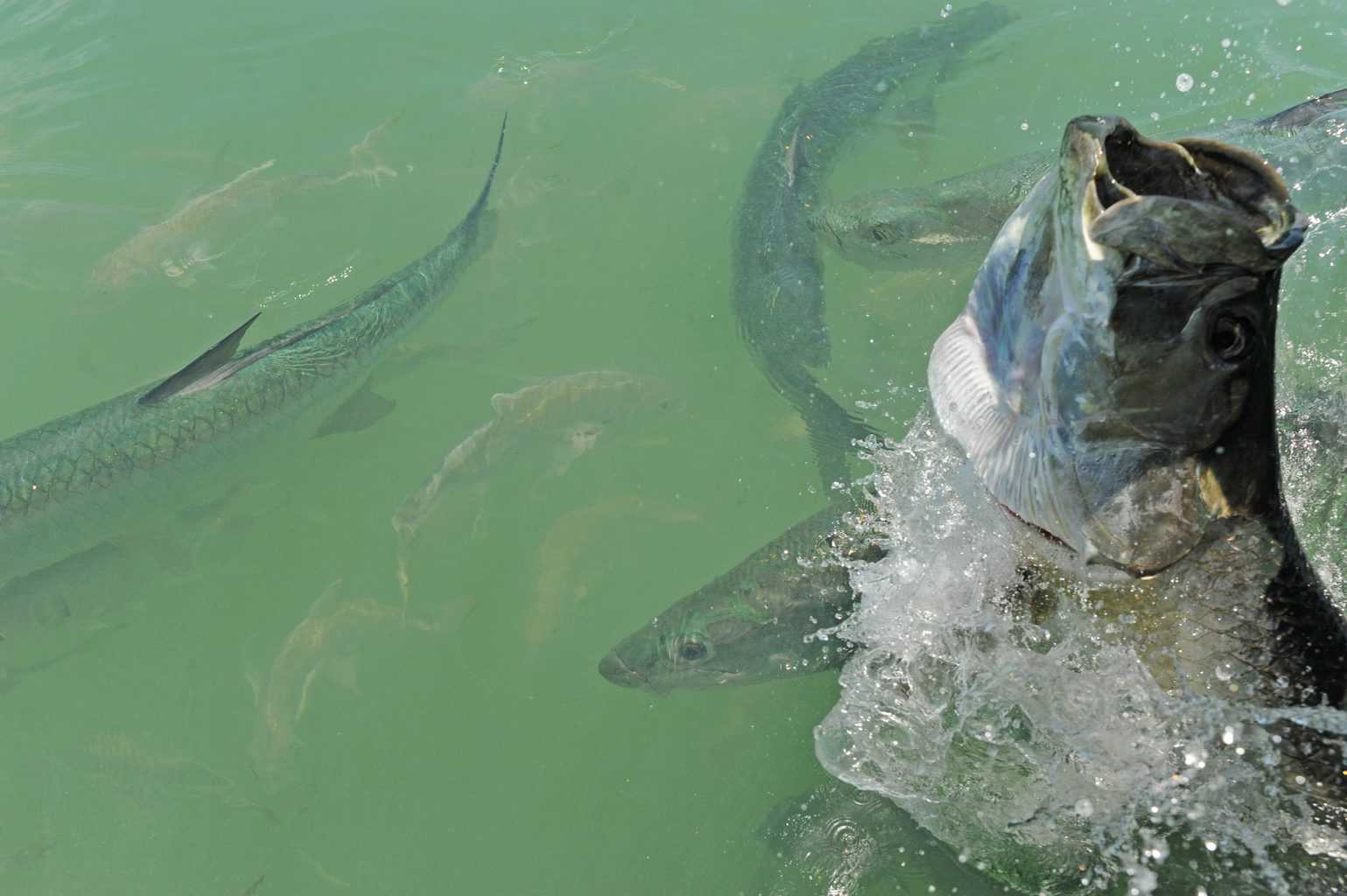 Tarpon fish jumping and swimming off the coast of Florida in the Atlantic Ocean. But can you eat tarpon and how does it taste?