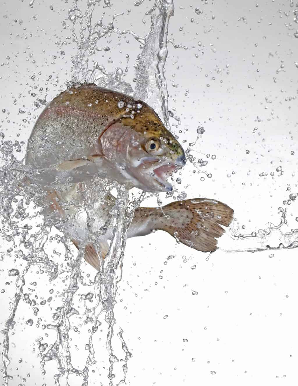 Why do trout jump out of the water? A trout jumping