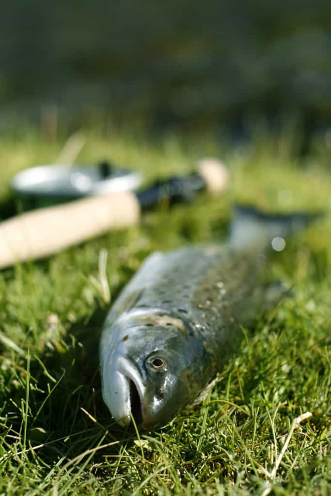 Freshly caught trout lying on the riverbank with fly fishing rod - shallow depth of field