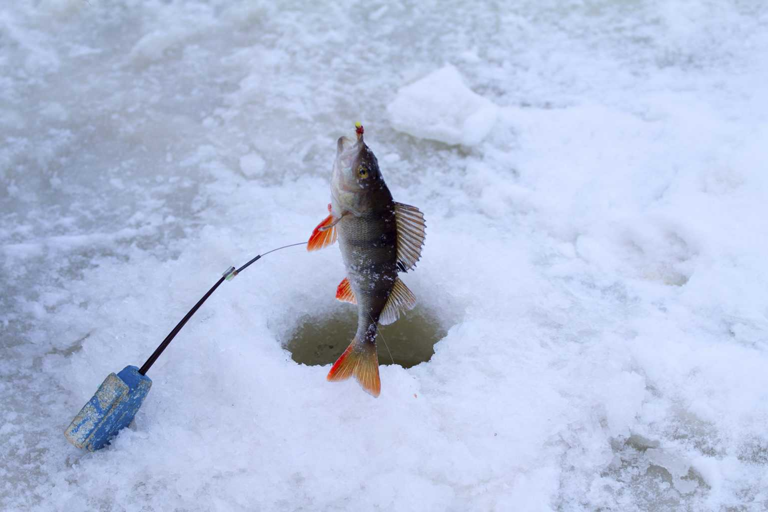 catching of a perch on red lake ice fishing in the middle of the winter