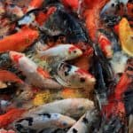 Koi in a pond; Chinese Garden in Singapore; Can you Eat Koi Fish and how does it taste?