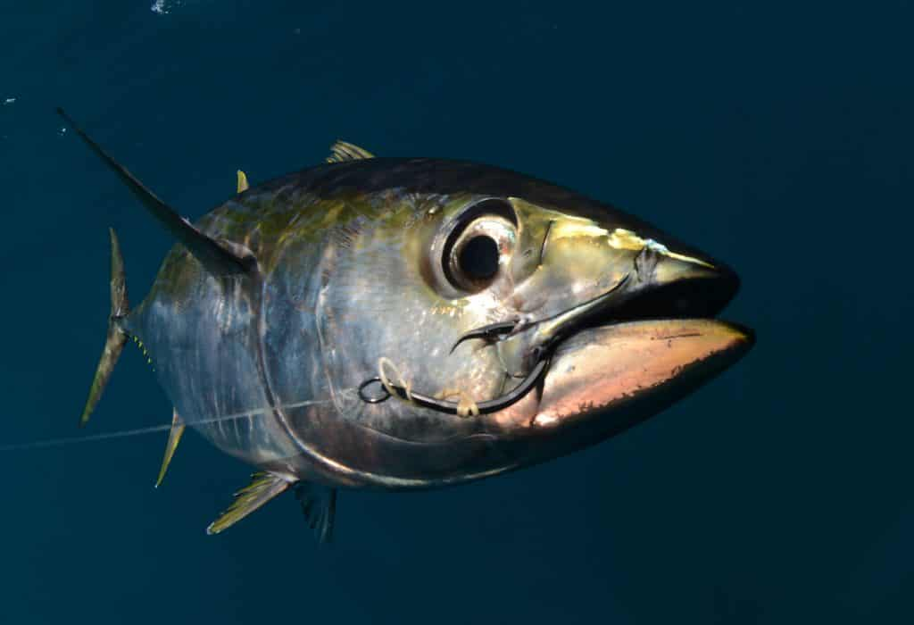 a yellowfin tuna fish with a hook in its mouth from fishing