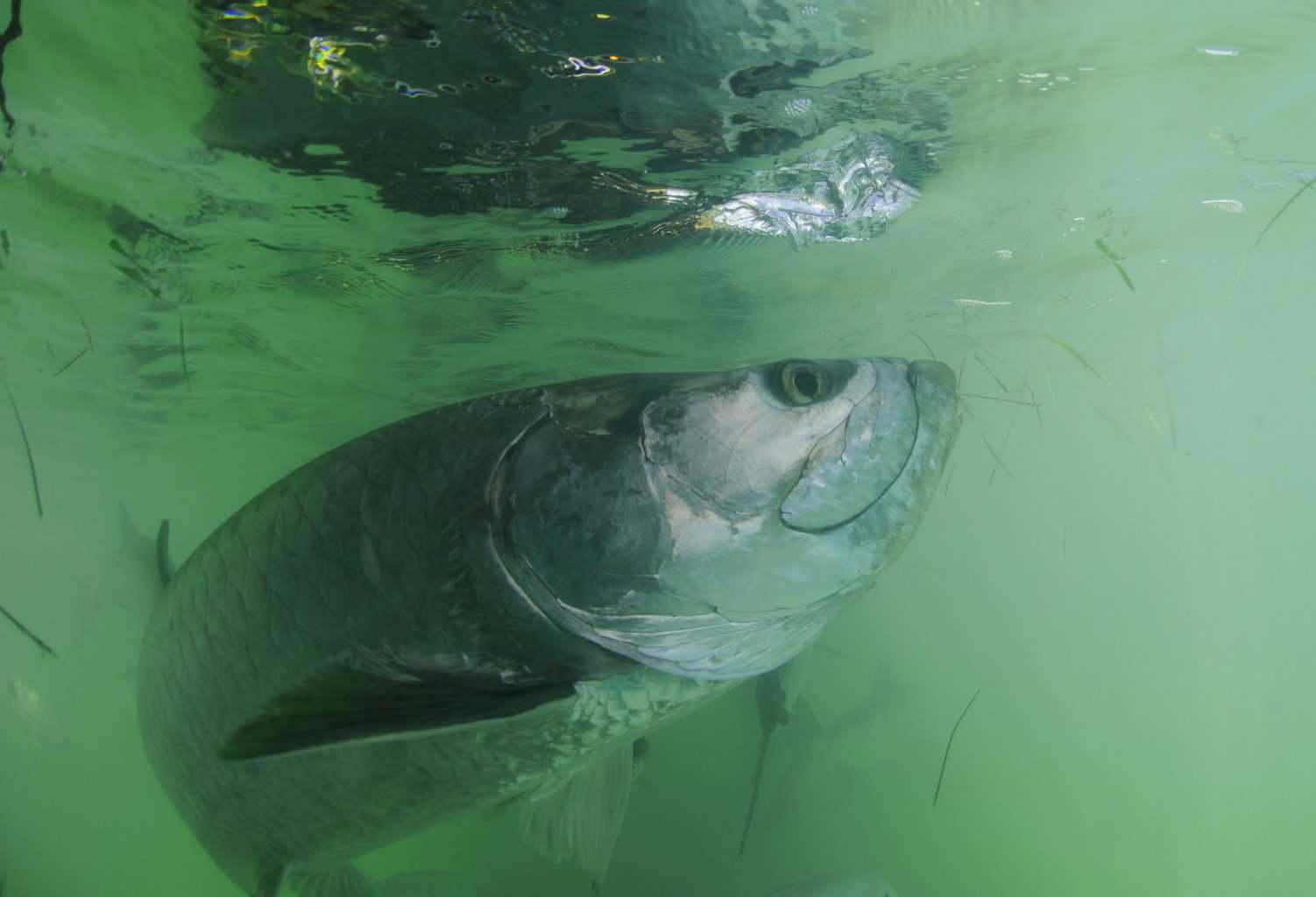 Tarpon fish in its natural haibitat off the coast of Florida in the Atlantic Ocean - what is the best time to catch tarpon?