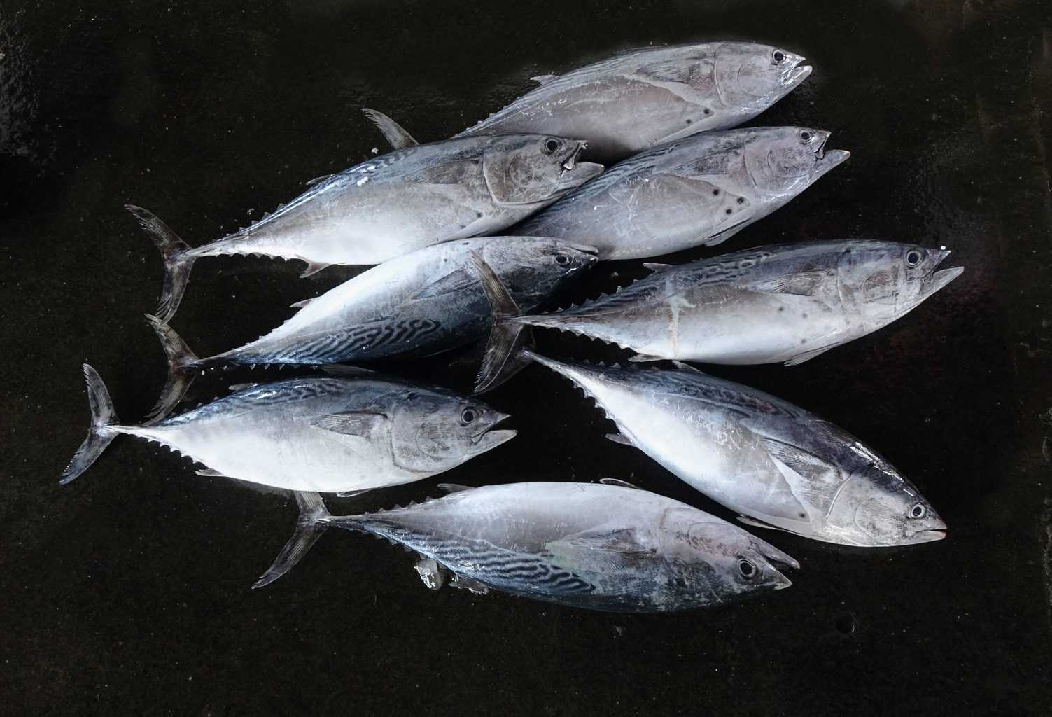 Freshly caught small-sized tuna are sold at a local fish market - what is the best time to catch tuna?