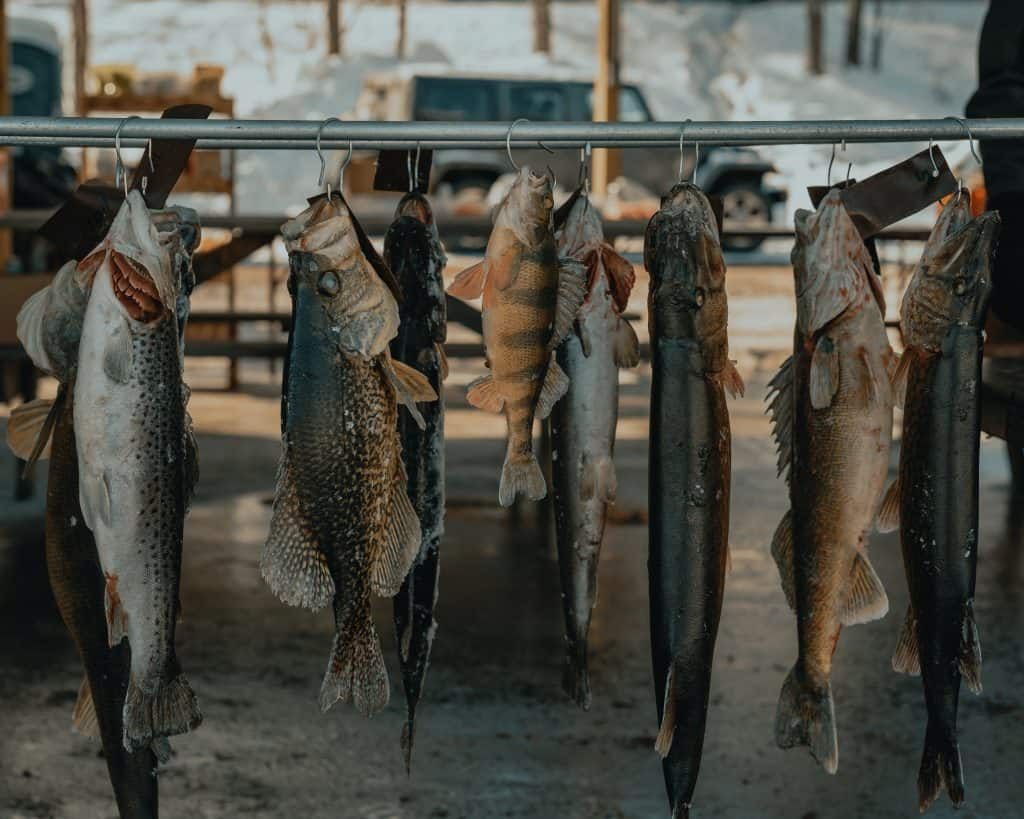Perch and other fish hanging in a row
