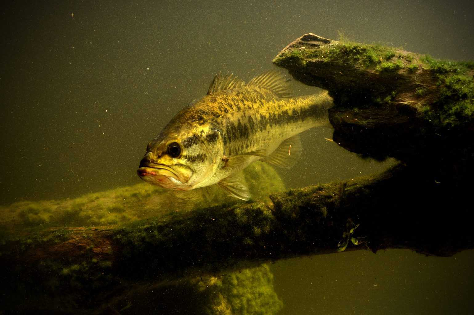 largemouth bass fish in lake swimming - what is the best time to catch bass