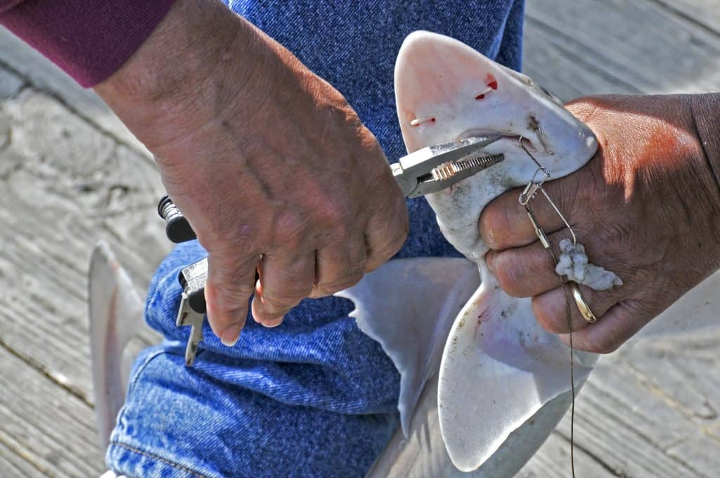 A fisherman removing the hook from a sharks mouth