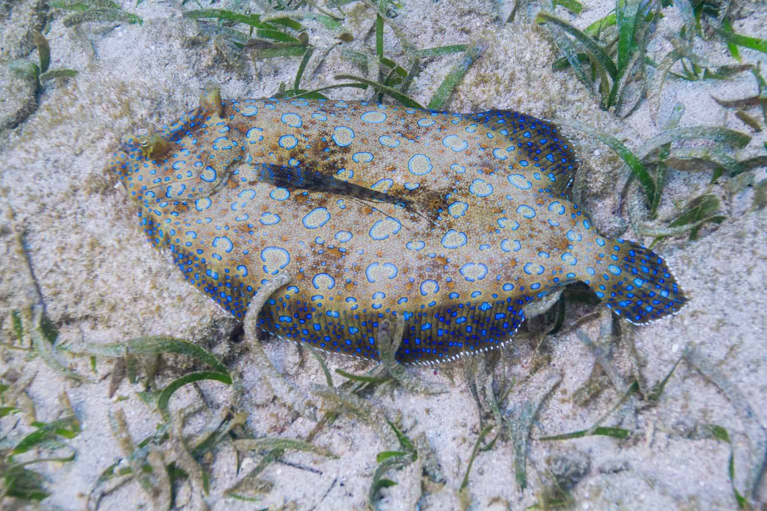 Bothus lunatus on the bottom of a sandy reef with grass algea. What is the best time to catch flounder?